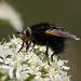 Tachina grossa or giant tachinid fly by saltholme