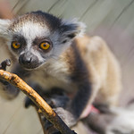 Lemur baby on the branch