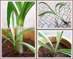 Propagating Crinum asiaticum 'Variegatum' by removing its pup/offset - Aug 6, 2013