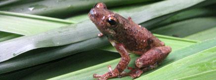 寧巴山蘆葦蛙。圖片來自CI,Ngoran Germain Kouame攝 。