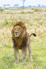 animal, lion, mammal, fauna, natural environment, savanna, grassland, safari, wildlife,