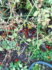 Cherry tomato fail