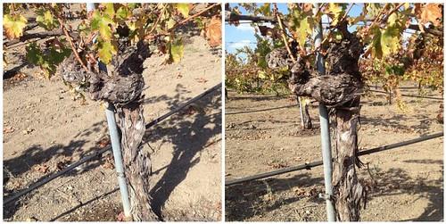 Corison Winery: Kronos Vineyard