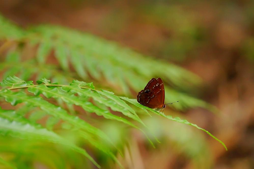 褐蜆蝶屬白點褐蜆蝶01