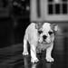 English Bulldog b&w by ElvisM