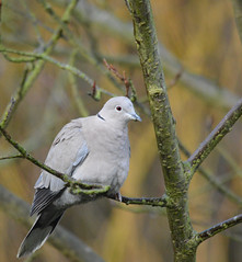 Collard Dove in Tree