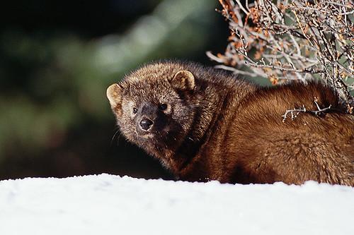 Wildlife in British Columbia, Canada: Fisher