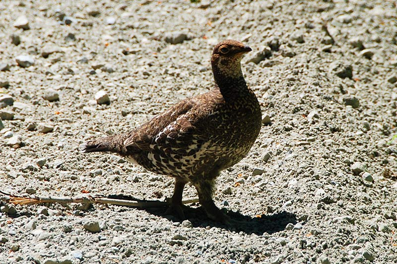 Grouse near Tahsis, North Vancouver Island, British Columbia, Canada