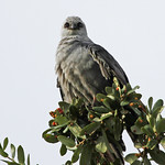 Mississippi Kite after the rain...