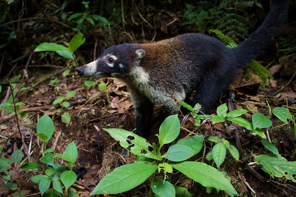 Koati(2)