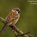 Tree Sparrow (Passer montanus) by gcampbellphoto
