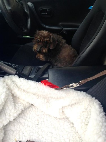 miniature-wire-haired-dachshund