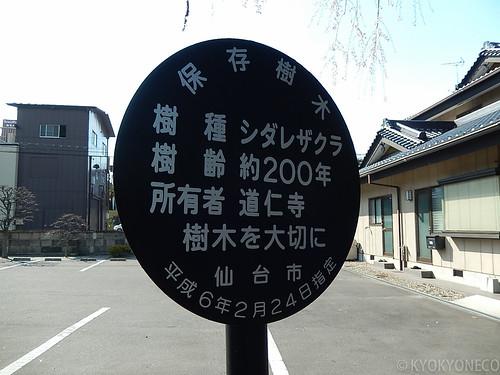道仁寺シダレサクラ