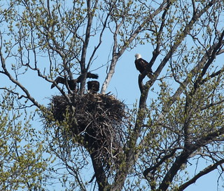 IMG_7257-1 Bald Eagle nestlings
