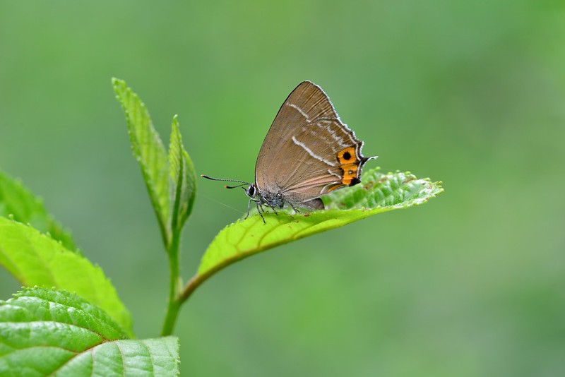 Neozephyrus japonicus / The Green Hairstreak