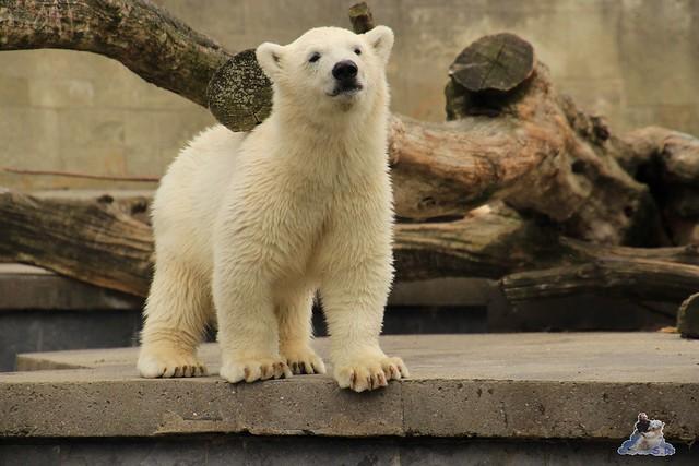 Eisbär Fiete im Zoo Rostock 11.07.2015  0160
