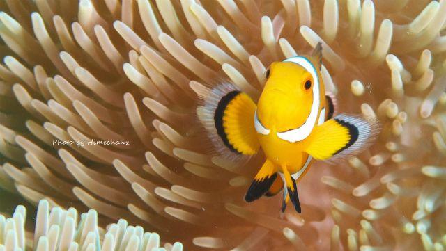 バンザイしてるみたいなカクレクマノミ幼魚w