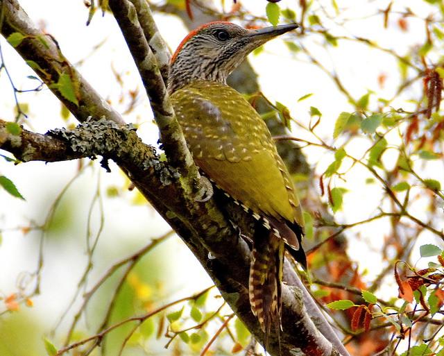 Green Woodpecker watches.