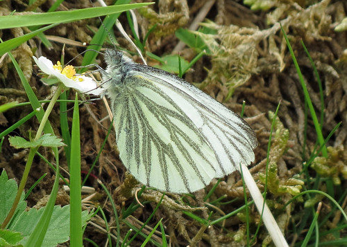 Green-veined White - Pieris rapae