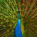 Peacock by Ser_Caesar