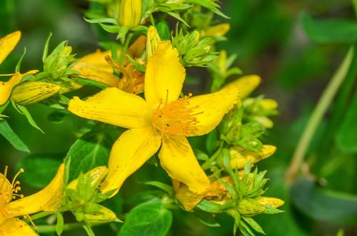 <p><i>Hypericum maculatum</i>, Hypericaceae<br /> Colony Farm Regional Park, Coquitlam, British Columbia, Canada<br /> Nikon D5100, 105 mm f/2.8<br /> June 22, 2013</p>