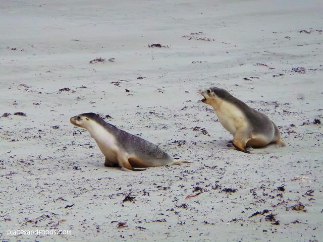 kangaroo island twin baby seals