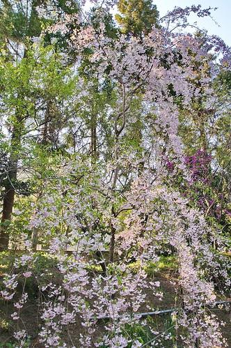 【写真】2013 桜 : 梅宮大社/2019-06-14/IMGP0219
