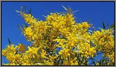 Wattle Blossom-02=