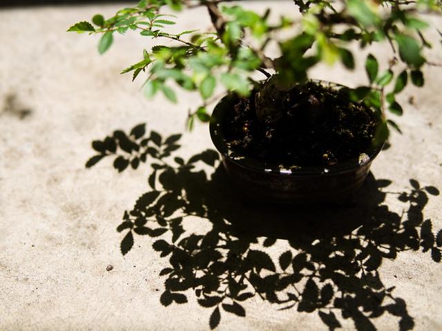bonsai and his shadow