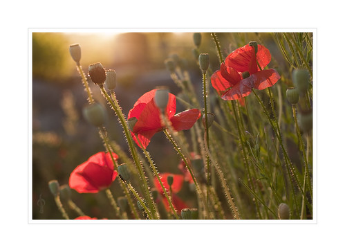 A Summer Evening With Red Poppies