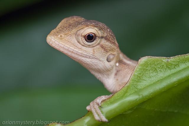 IMG_9832 copy baby lizard Calotes emma