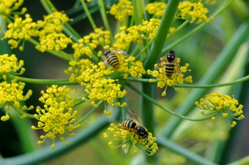 Fennel wasps by PhylB