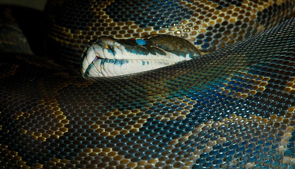 African Rock Python (Python sebae)_1