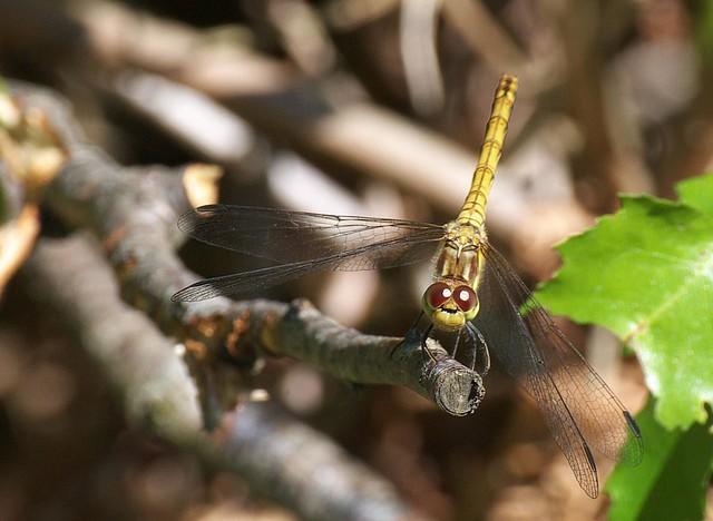 DSC_6926 dragonfly