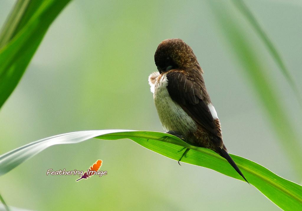 白腰文鳥  ~~