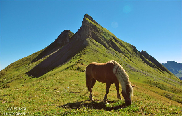 wild horse in front of Damülser Mittagsspitze
