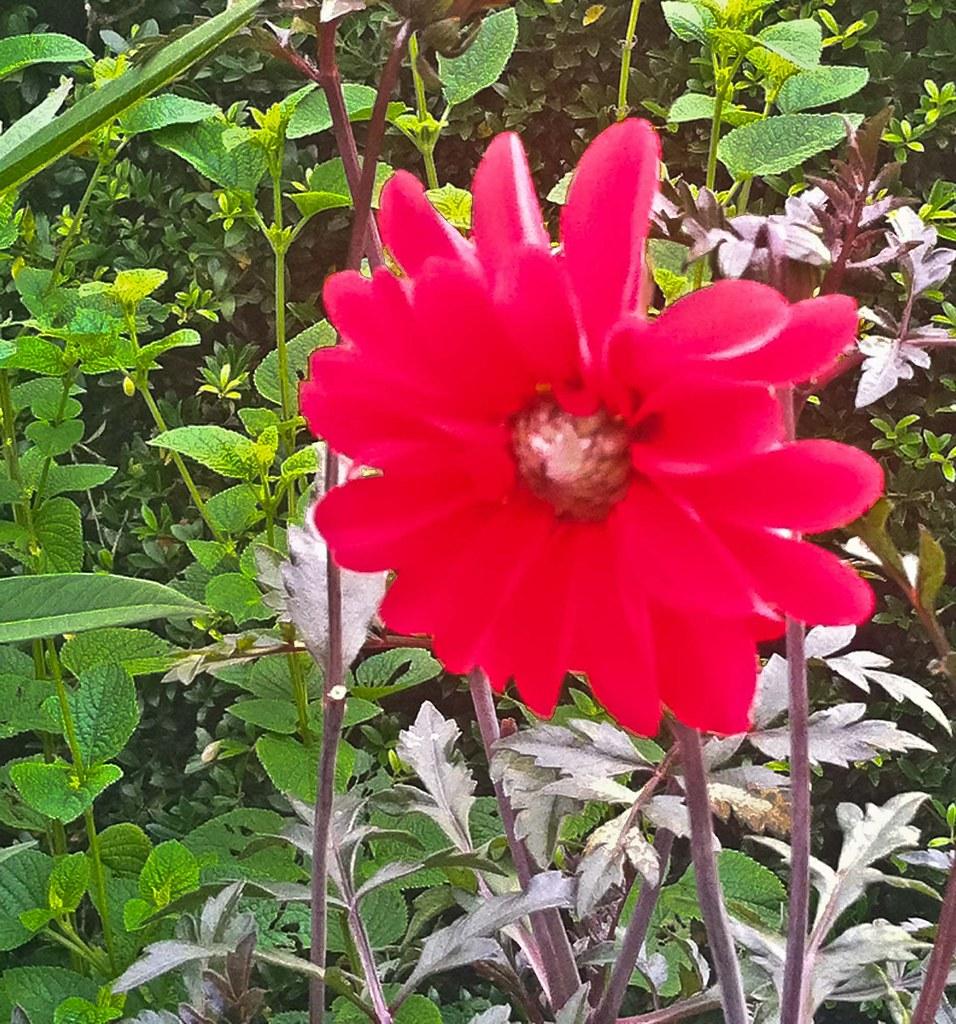 red flower 20130802-IMG_0929.jpg