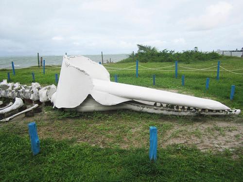 esqueleto baleia cachalote projeto peixe boi