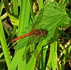Ruddy Darter Ham Wall NNR Somerset by Cornishcarolin trying to catch up again!!