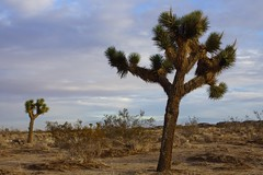 Klaus Naujok posted a photo:	One of the many Joshua Trees found around Victorville (Mojave Desert).