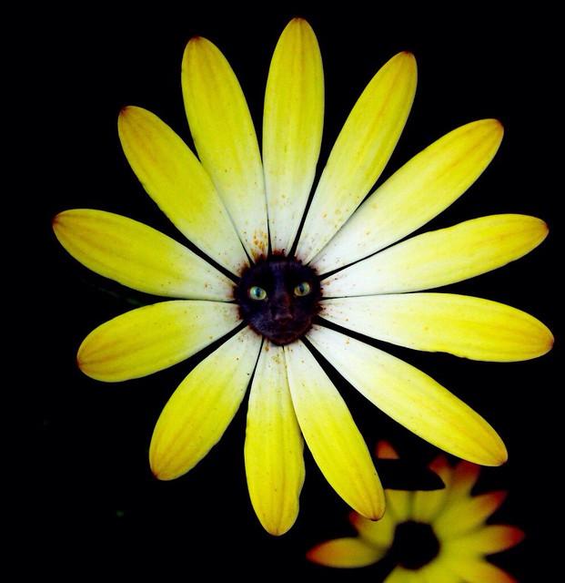 Catflower