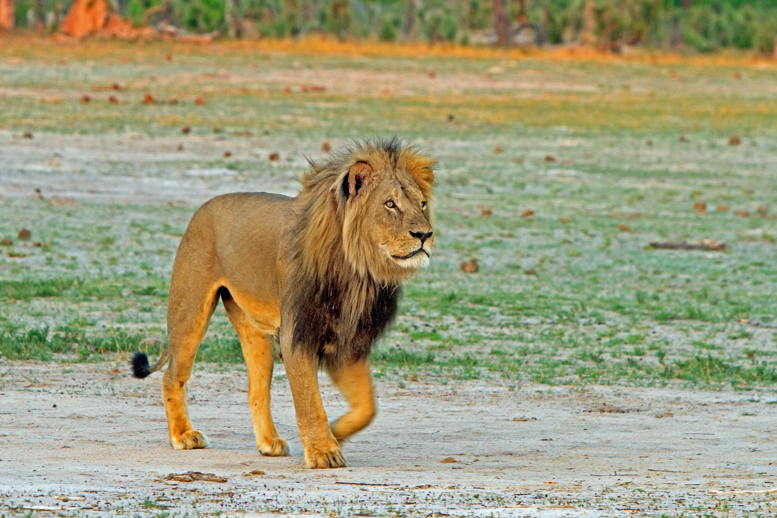 Cecil -  The black maned Lion - RIP!