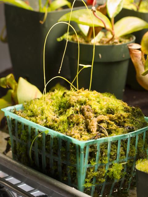 U. nelumbifolia