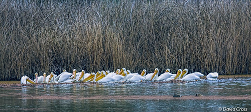 A Strip of White Pelicans