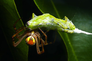 St Andrews Cross Spider eating Grashopper