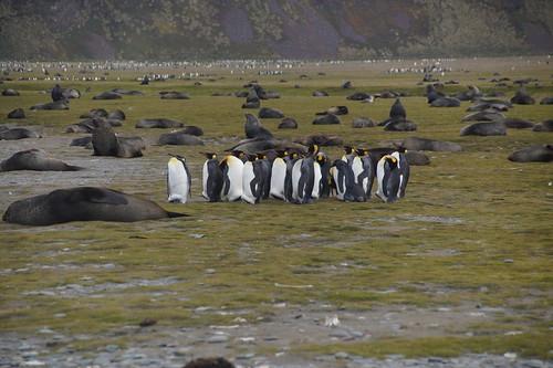 309 Salisbury Plain zeeberen en koningspinguis