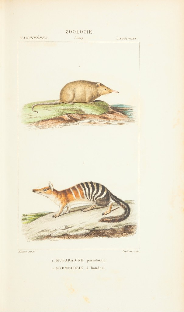 shrew + numbat