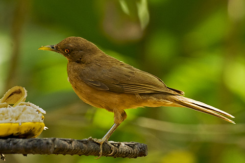 Panama: CCT (as in Clay-colored Thrush)