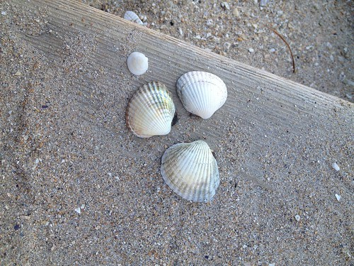 French seashells