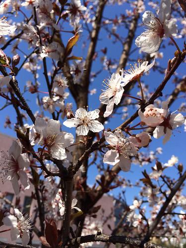 桜咲く 2014/3/23 東京都渋谷区恵比寿
